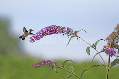 Archilochus colubris – Ruby throated hummingbird on Butterfly Bush 1