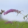 Archilochus colubris – Ruby throated hummingbird on Butterfly Bush 1