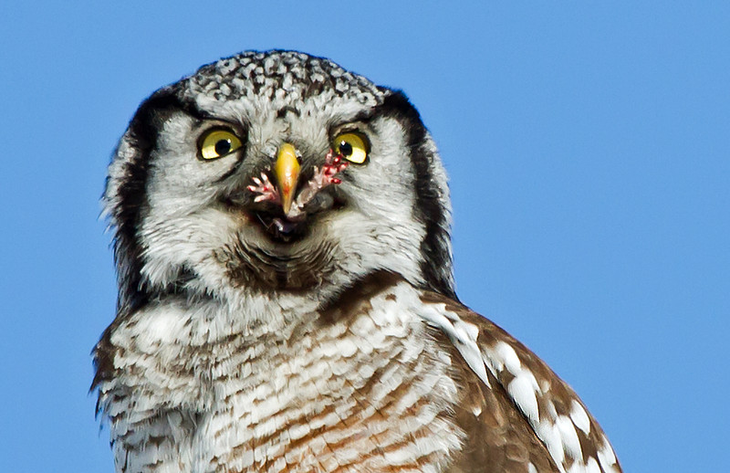 Northern Hawk Owl with only the feet of his snack showing.