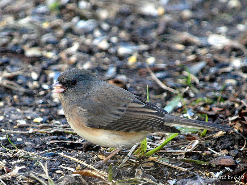 Close Up of a Female Dark Eyed Junco
