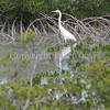 Ardea herodias occidentalis – Great white heron 10