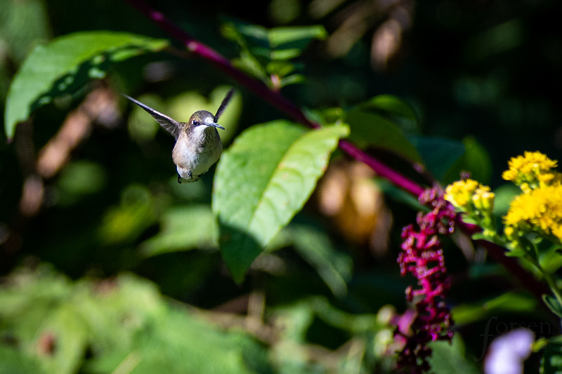 Ruby-throated Hummingbird in Purdue's Horticulture Park
