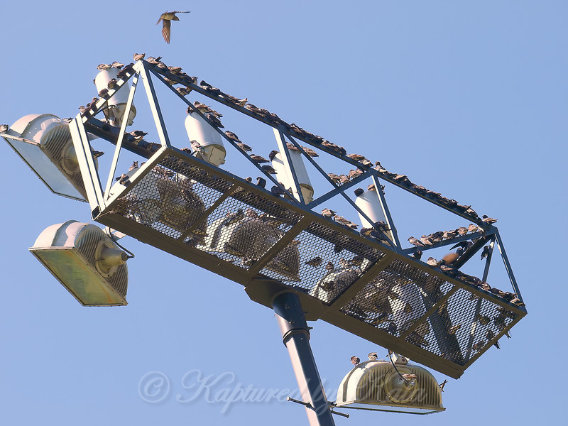 Another Purple Martin Gathering Location