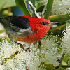 Scarlet Honeyeater, The Spit, Gold Coast, Qld.