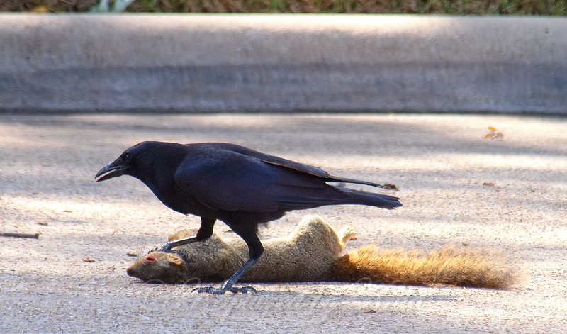Crows Tend To Eat The Eyes First