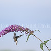 Archilochus colubris – Ruby throated hummingbird on Butterfly Bush 3