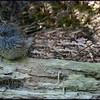Junco Fledgling