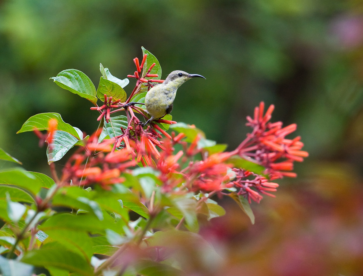 I chased this Sunbird around these lovely flowering trees for the longest time.  Skittish little thing - behaved kinda like a hummingbird, though not quite so amped up.  Thankfully, it stopped and perched to suck the nectar out of these flowers, which was the only reason I managed the shots that I did.<br /> <br /> Location: Pench National Park, India<br /> <br /> Lens used: Canon 100-400mm f4.5-5.6 IS