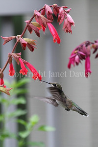 Archilochus colubris – Ruby throated hummingbird on 'Ember's Wish' Salvia 3
