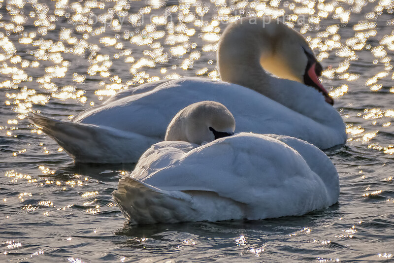 Winter Swan Visitors I