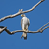 Grey Falcon portrait