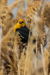 Yellow Headed Blackbird  in Disguise
