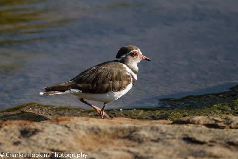 Three-banded Plover aka Three-banded Lapwing