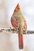 Lady Cardinal Acting Shy