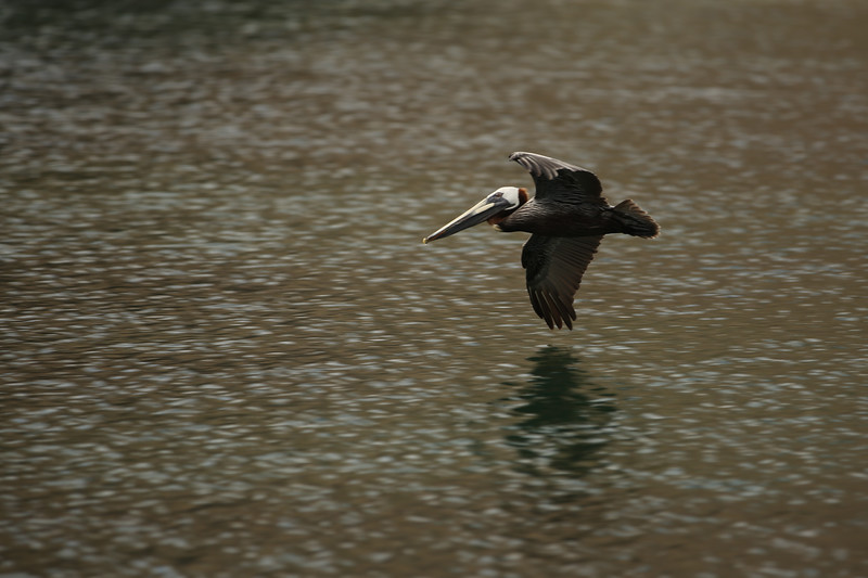 Brown Pelican, Mongoose Beach, South Friars Bay, St. Kitts