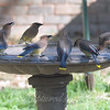 Group Of Waxwings View 3
