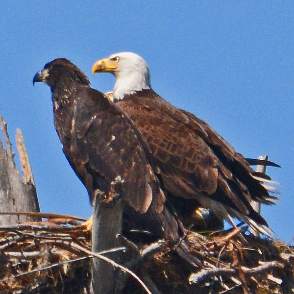 Profile of an Eaglet and a mature American Bald Eagle.