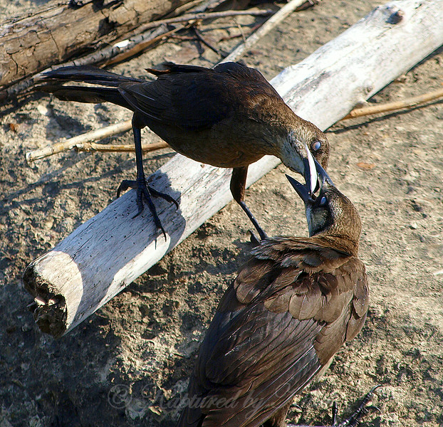 Great-tailed Grackle Mama Stuffing Fish in Juniors Mouth