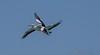 Pelican 09