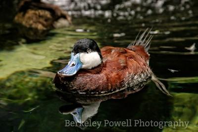 Rudy Duck