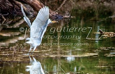 Egret at Lost Creek-2