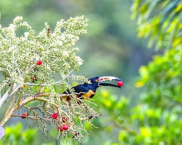 Collared aracari snacks on palm fruit