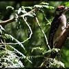 Male hairy woodpecker ~ Picoides villosus