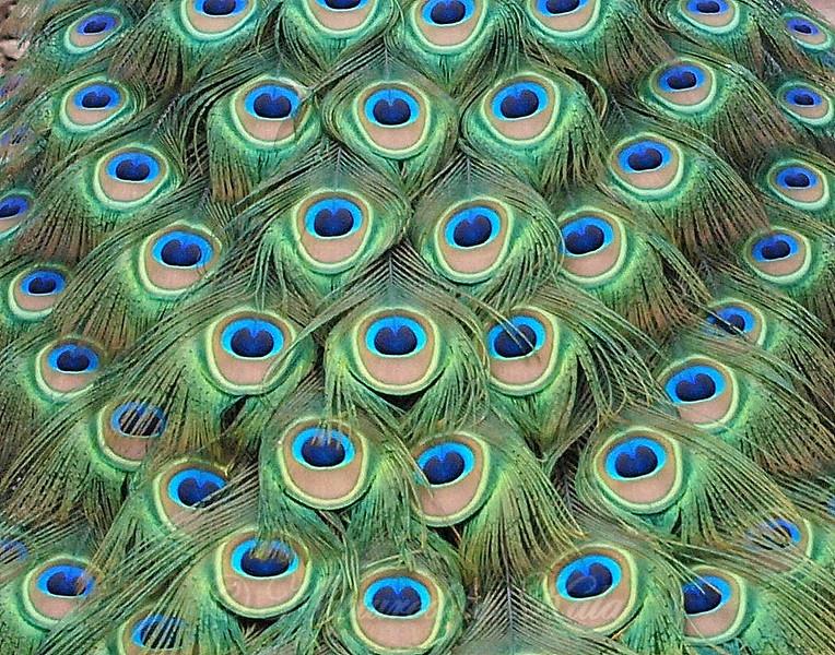 Peacock Patterns Version 2