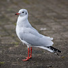 Black-headed gulls / Hettumáfur (Chroicocephalus ridibundus)