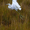 An immature Little Blue Heron takes off from the salt marsh.