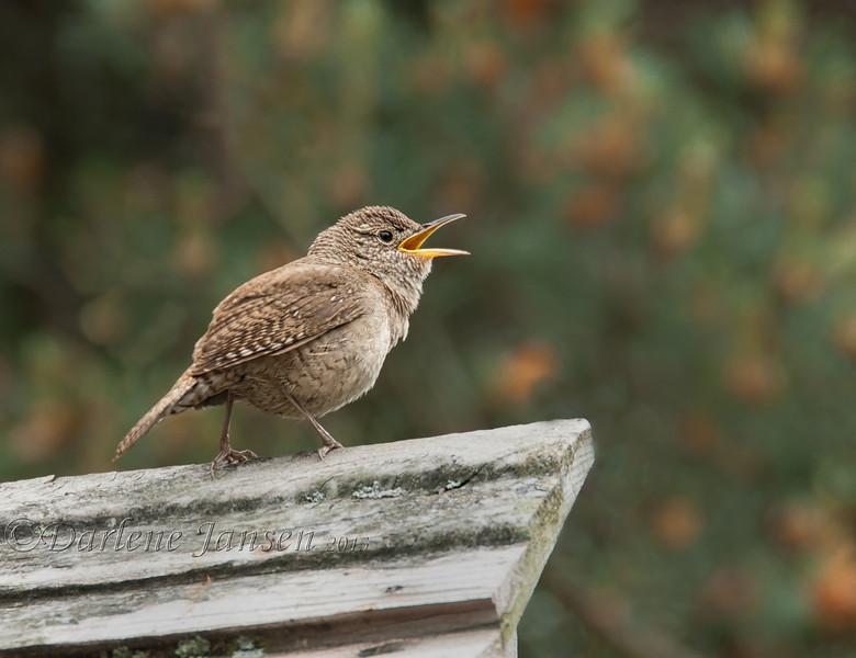 bird; wildlife; house wren; house wren singing; darlene jansen photography;