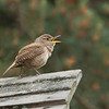 bird; wildlife; house wren; house wren singing; darlene jansen photography;