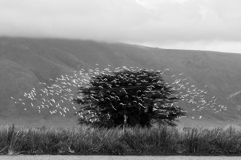 Cattle Egret Ascension #1