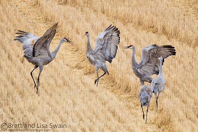 Sandhill Crane Mating Dance