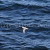 Fulmarus glacialis - Northern fulmar 14