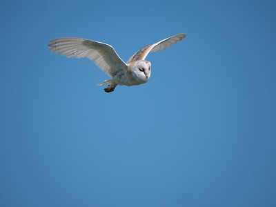 Barn Owl at Farmoor 5th May 2018