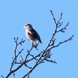 Hawfinch at Shaw Newbury