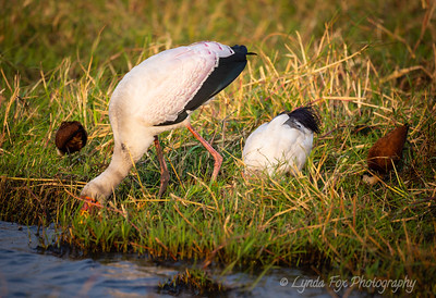 Yellow Billed Stork Eating With Friends