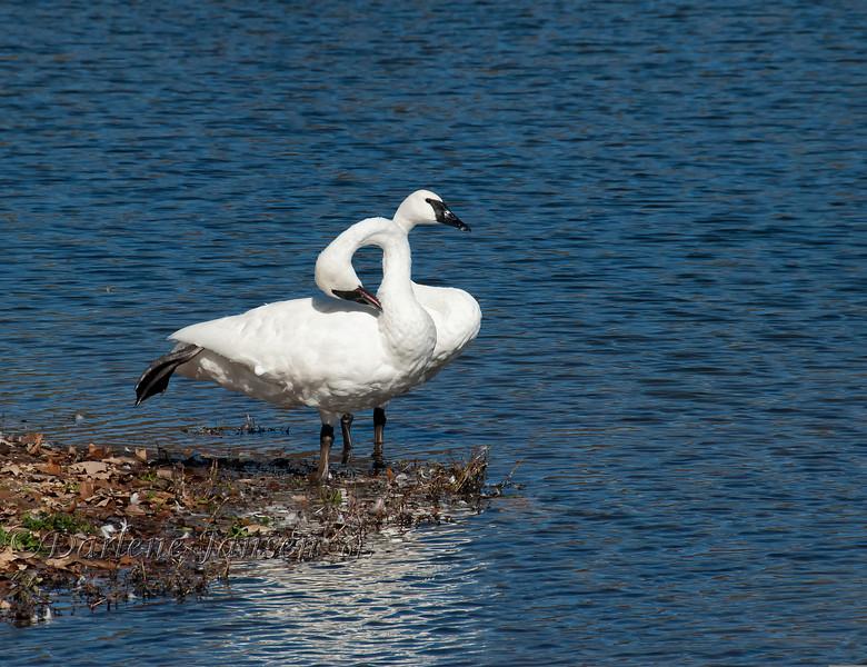 birds; trumpeter swans; wildlife; wisconsin; autumn; darlene jansen photography;