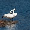 birds; trumpeter swans; wildlife; wisconsin; autumn; darlene jansen photography;