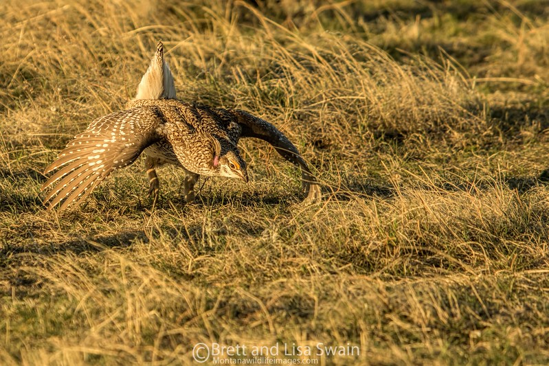 Male Sharp-tailed Grouse at Lek