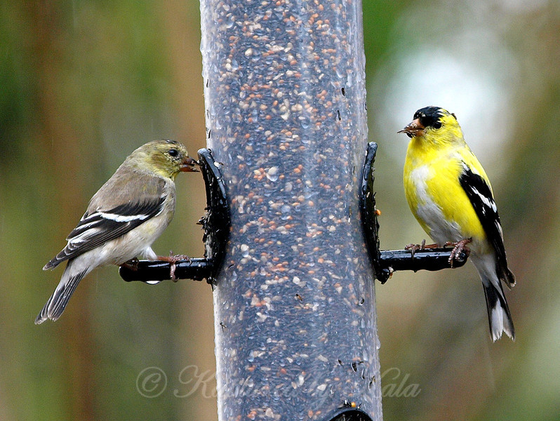 Pair of American Goldfinch Eating During a Thunderstorm.