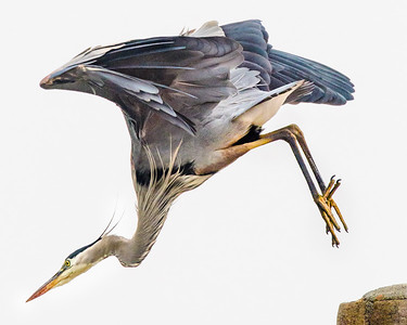 Leaping Blue Heron