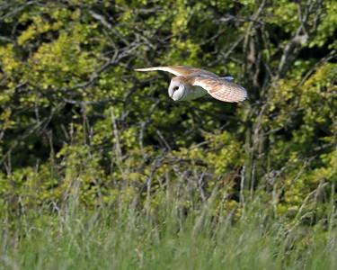 Barn Owl over Kingsclere 14th June 2017