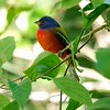 A male Painted Bunting