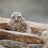 Little Owl chick