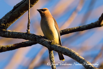 Cedar Waxing in early spring