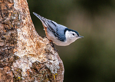 White Breasted Nuthatch, Sitta carolinensis