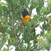 Baltimore Oriole Singing