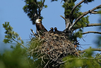 Bald Eagle and Chicks in Minnesota